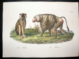 Schinz 1845 Antique Hand Col Print. Babboon, Monkeys 2